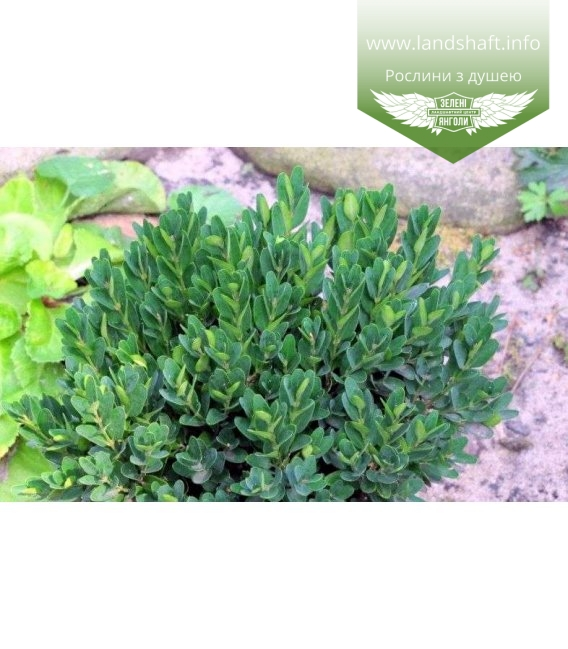 Buxus sempervirens 'Angustifolia', Самшит вічнозелений 'Ангустіфоліа'