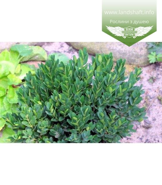 Buxus sempervirens 'Angustifolia' Самшит вечнозеленый