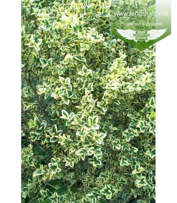 Buxus sempervirens 'Marginata', Самшит вічнозелений 'Маргіната'