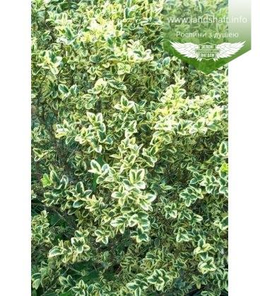 Buxus sempervirens 'Marginata' Самшит вечнозеленый