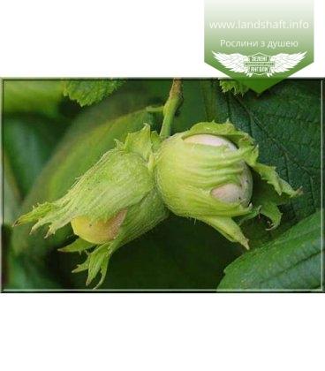 Corylus avellana 'Trapezundski' Лещина обыкновенная (Фундук)