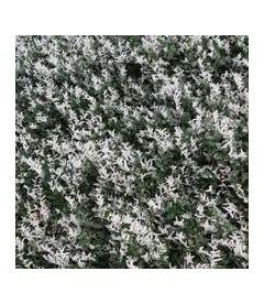 Euonymus fortunei 'Harlequin', Бересклет Форчуна 'Харлекин'