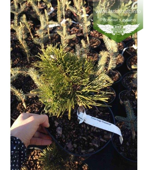 Pinus mugo 'Krauskopf', Сосна гірська 'Коаускопф'