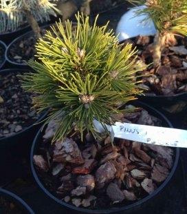 Pinus mugo 'Peterle', Сосна горная 'Петерле'