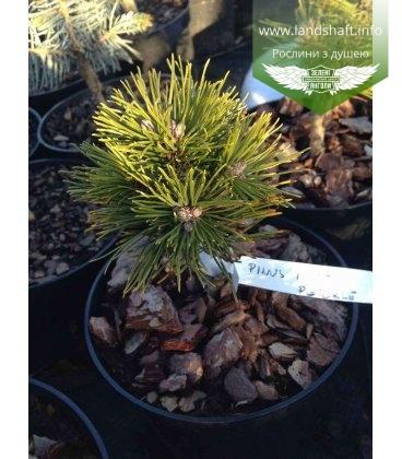 Pinus mugo 'Peterle' Сосна горная