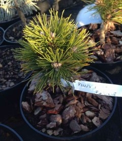 Pinus mugo 'Peterle', Сосна гірська 'Петерле'