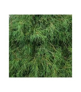 Thuja occidentalis 'Filiformis' Туя западная