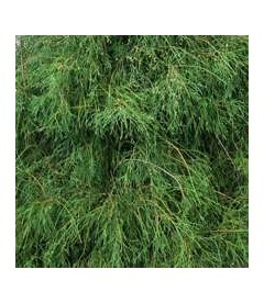 Thuja occidentalis 'Filiformis' Туя західна