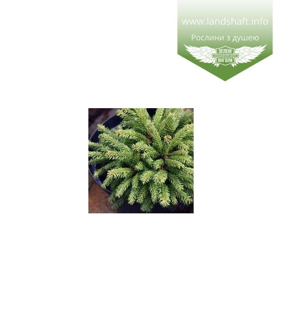 Picea abies 'Barryi', Ялина звичайна 'Баррі'
