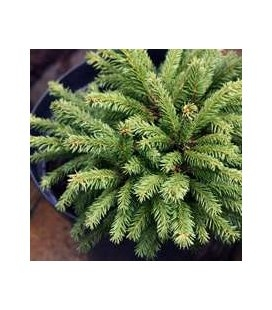 Picea abies 'Barryi' Ялина звичайна