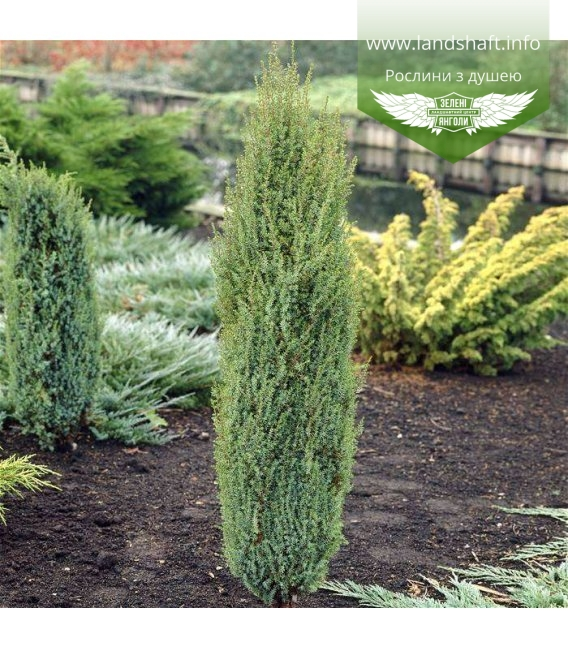 Juniperus communis 'Arnold' Можжевельник обыкновенный