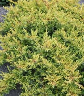 Juniperus conferta 'All Gold' Ялівець прибережний 'Олл Голд'
