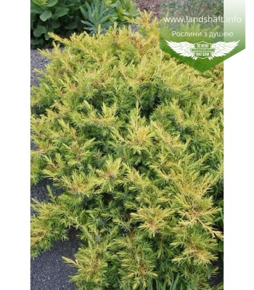 Juniperus conferta 'All Gold' Ялівець прибережний