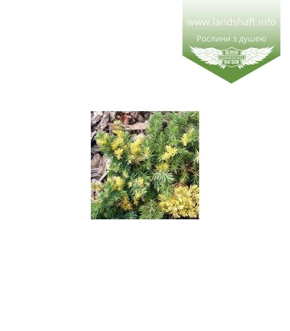 Juniperus conferta 'Golden Wings' Можжевельник прибережный 'Голден Вингз'