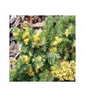 Juniperus conferta 'Golden Wings', Можжевельник прибрежный 'Голден Вингз'