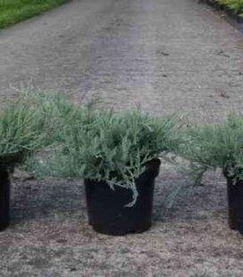 Juniperus horizontalis 'Agnieszka' Ялівець горизонтальний 'Агнешка'