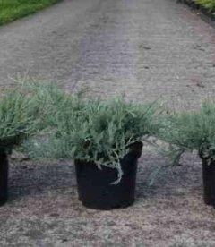 Juniperus horizontalis 'Agnieszka', Можжевельник горизонтальный 'Агнешка'