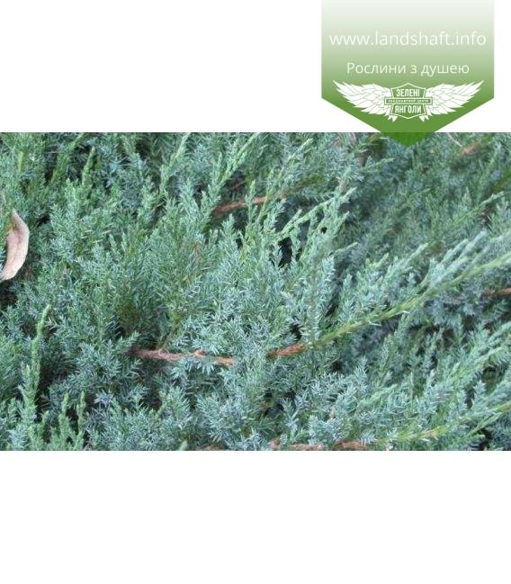 Juniperus horizontalis 'Agnieszka' Можжевельник горизонтальный 'Агнешка'