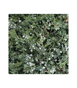 Juniperus horizontalis 'Wiltoni' Ялівець горизонтальний 'Вілтоні'