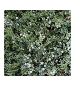 Juniperus horizontalis 'Wiltoni', Можжевельник горизонтальный 'Вилтони'