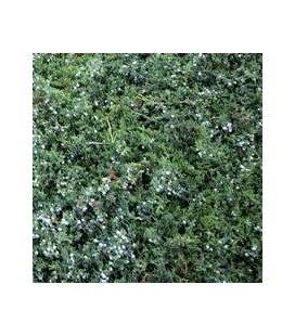 Juniperus horizontalis 'Wiltonii', Ялівець повзучий 'Вілтоні'