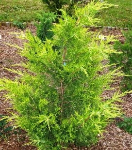 Juniperus virginiana 'Aranyeso', Можжевельник виргинский 'Араньешо'