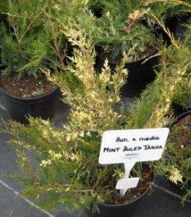 Juniperus x media 'Mint Julep Tarka', Ялівець середній 'Мінт Джуліп Тарка'