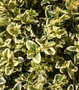 Buxus sempervirens 'Argenteomarginata', Самшит вічнозелений 'Аргентеомаргіната'
