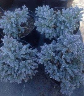 Juniperus Squamata 'Blue Star' Можжевельник чешуйчатый