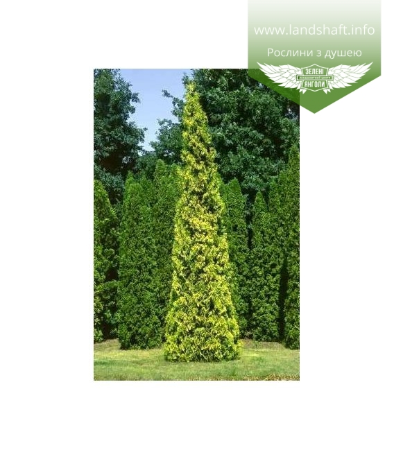 Thuja occidentalis 'Aurescens' Туя западная 'Ауресценс'