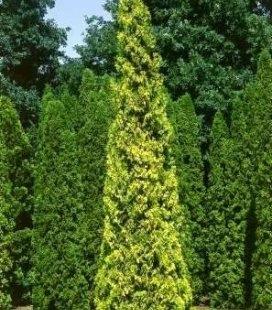 Thuja occidentalis 'Aurescens', Туя західна 'Ауресценс'