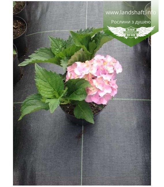 Hydrangea macrophylla mix, Гортензія крупнолиста в асортименті