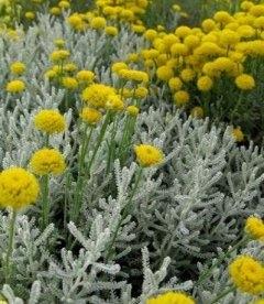 Santolina chamaecyparissus Сантолина кипарисовидная