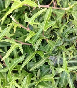 Hedera helix 'Sagittifolia', Плющ звичайний 'Сагіттіфолія'