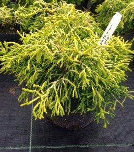 Chamaecyparis obtusa 'Tsatsumi Gold' Кипарисовик туполистный
