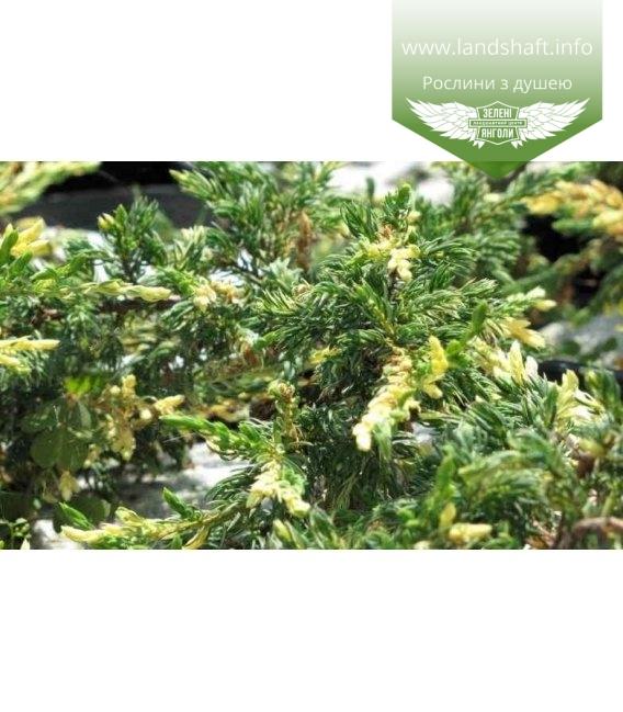 Juniperus communis 'Spotty Spreader' Можжевельник обыкновенный