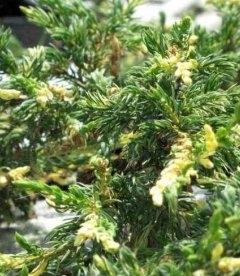 Juniperus communis 'Spotty Spreader', Можжевельник обыкновенный 'Спотти Спредер'