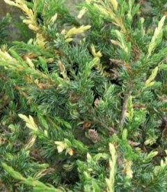 Juniperus communis 'Spotty Spreader', Ялівець звичайний 'Спотті Спредер'