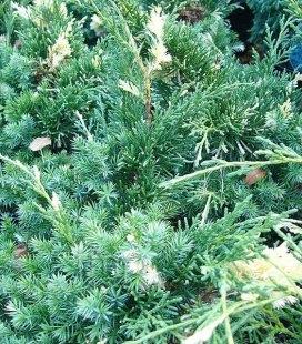 Juniperus chinensis 'Kaizuka Variegata' Ялівець китайський