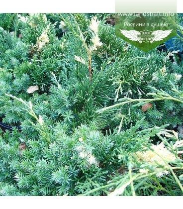 Juniperus chinensis 'Kaizuka Variegata' Можжевельник китайский