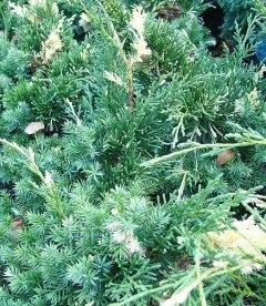 Juniperus chinensis 'Kaizuka Variegata', Можжевельник китайский 'Кайзука Вариегата'