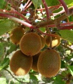 Actinidia chinensis (Kiwi), Актинідія китайська ківі