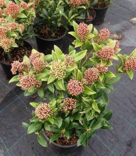 Skimmia japonica, Скиммия японская