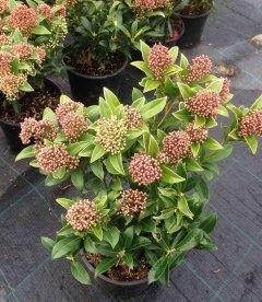 Skimmia japonica, Скіммія японська