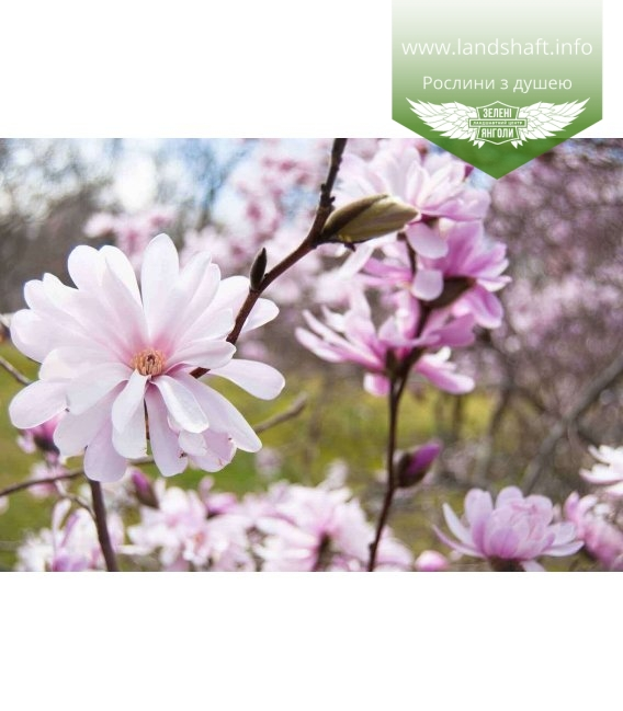 Magnolia stellata Магнолия звёздчастая