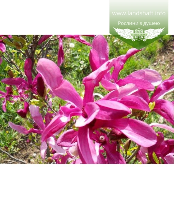 Magnolia 'Susan' Магнолия