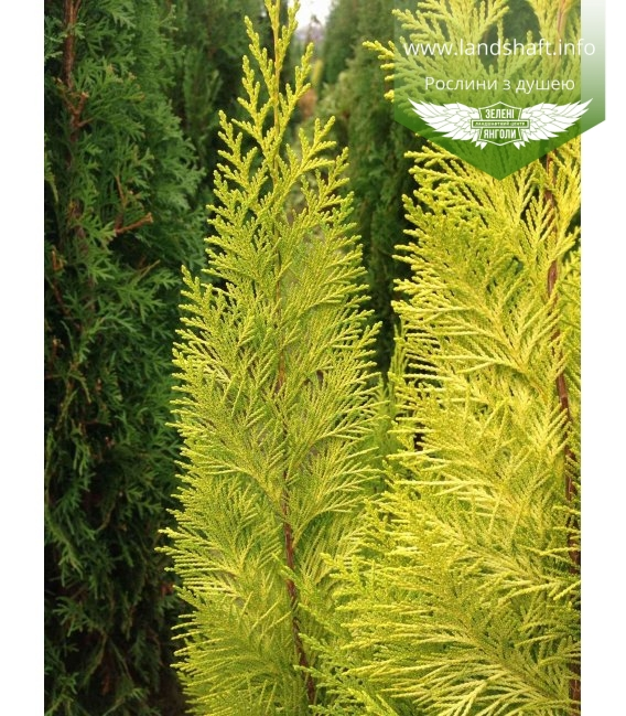 Chamaecyparis lawsoniana 'Lane', Кипарисовик Лавсона 'Лейн'