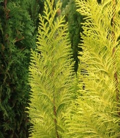 Chamaecyparis lawsoniana 'Lane' Кипарисовик Лавсона