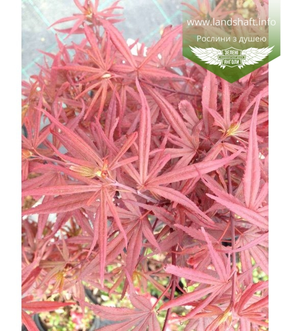Acer palmatum 'Shaina' Клен пальмолистный
