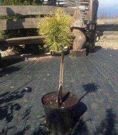 Pinus mugo 'Winter Gold', Сосна гірська 'Вінтер Голд' штамб